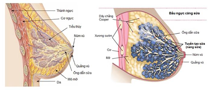 Cấu tạo vòng ngực trước khi nâng ngực nội soi